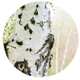 ヨーロッパシラカバ樹皮エキス