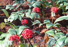 薬剤を使用せず元気に育った田七人参種子。土の下では栄養の詰まった根が育っています。